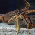 Lobster Fishing Tips