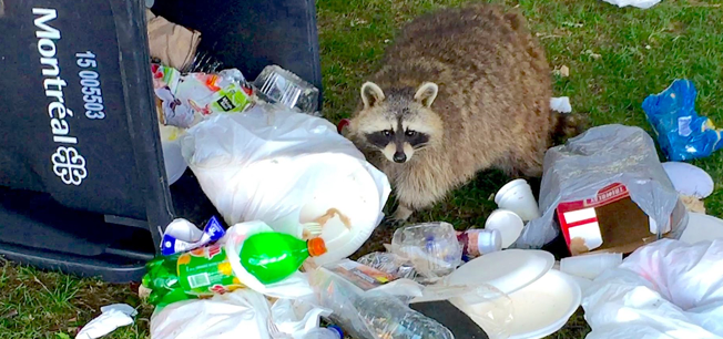 Image result for raccoon garbage